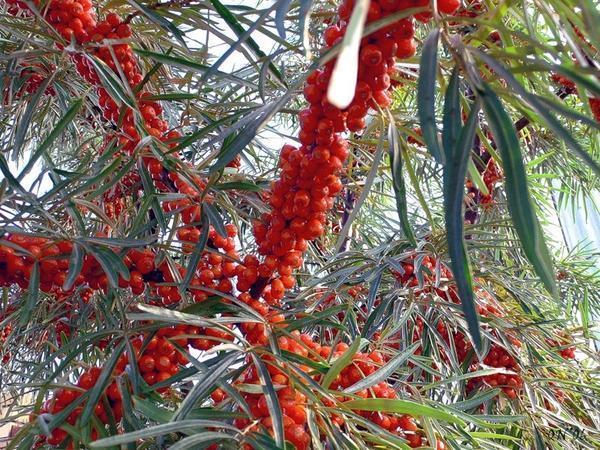 Сорт Красноплодная. Фото с сайта vosledoma.com