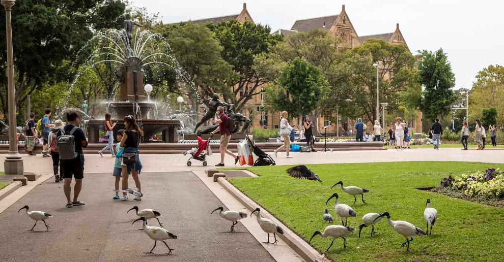 Ибисы — местные «голуби» Сиднея