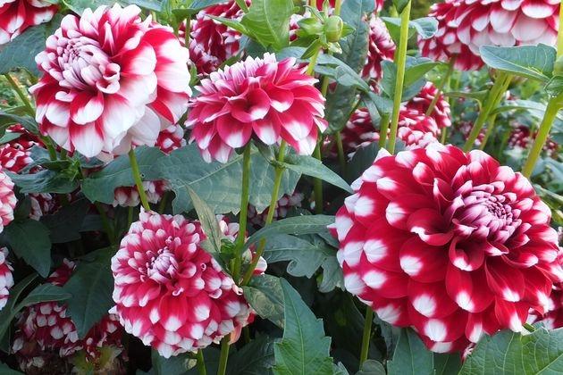 Георгина – наследница розы