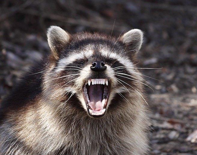 Осторожно - они не всегда такие милые животные, звери, зубы, интересное, красота, оскал, природа