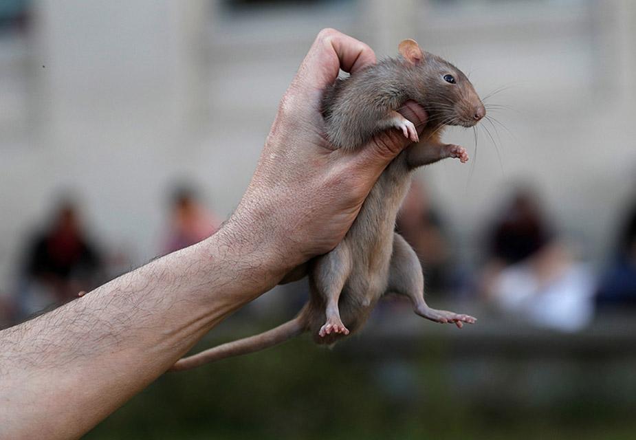 крыса шапочно знакомая