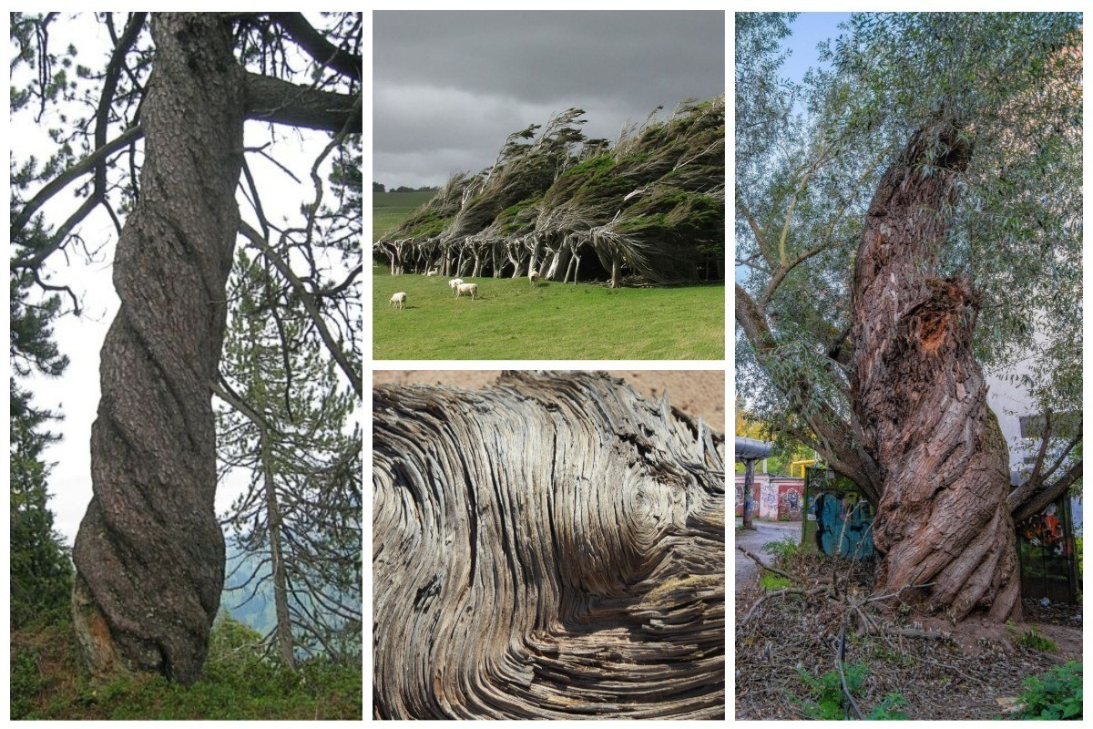 Загадка спиральных деревьев: ответ еще не найден