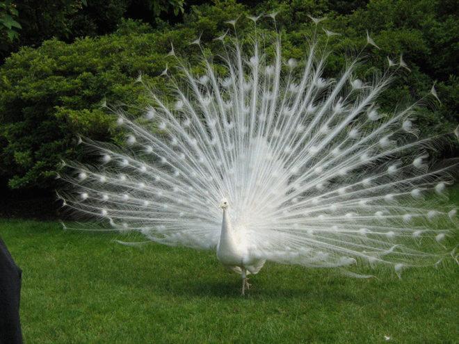 Когда этот красавец-павлин распустил свой хвост, все замерли от восхищения!