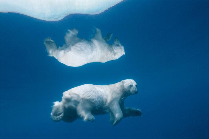 Белый медведь в воде