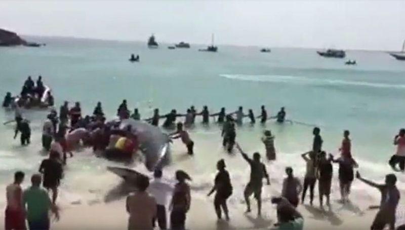 В Бразилии сутки спасали выброшенного на пляж кита