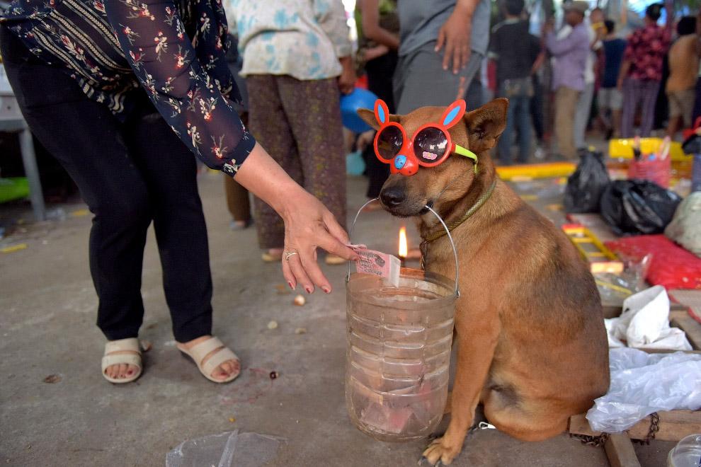 Сбор денег с помощью собаки на храм в Кандале, Камбоджа
