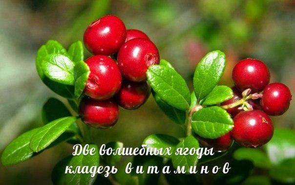 Две волшебных ягоды: клюква и брусника