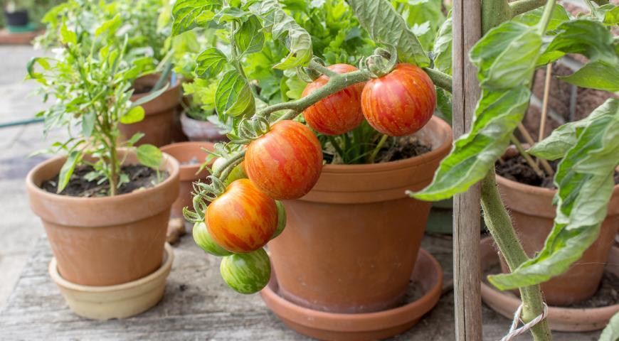 ТОП-5 вечных овощей: их можно пересаживать с грядки в дом и обратно дача,овощи,сад и огород,урожай