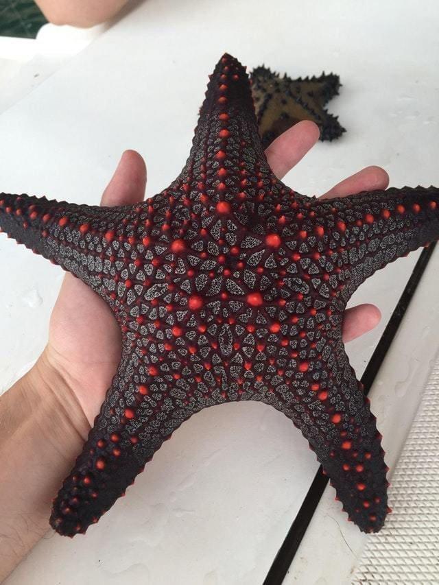13. Эта морская звезда — настоящая рок-звезда! в мире, познавательно, удивительно, фото, фотомир