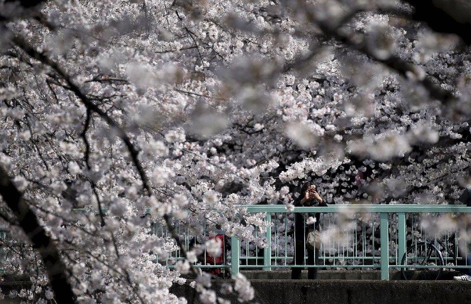 традиция любования цветущей сакурой-1