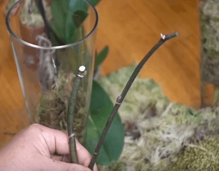 Простой способ размножения орхидей: без цитокининов и стимуляторов роста