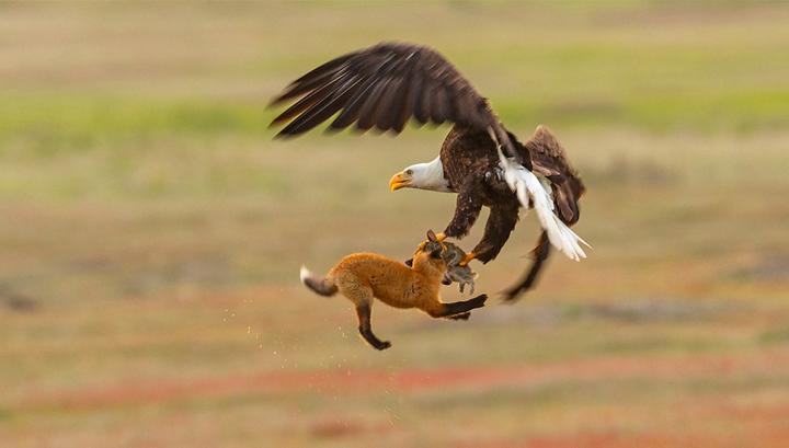 Американские натуралисты сняли на видео схватку белоголового орлана и обыкновенной лисицы