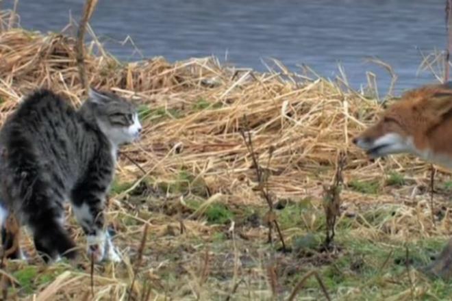 Домашний кот против дикой лисы: эпическая схватка