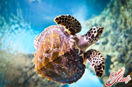 Черепахи водные: уход и соде…