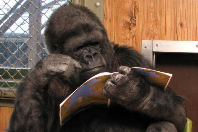 5. У гориллы спросили, что нас ждёт после смерти, и она ответила горилла, истории, кино, китай, корея, факты, япония