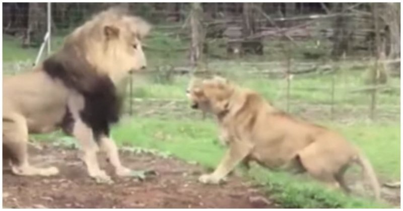Львица приревновала льва к д…