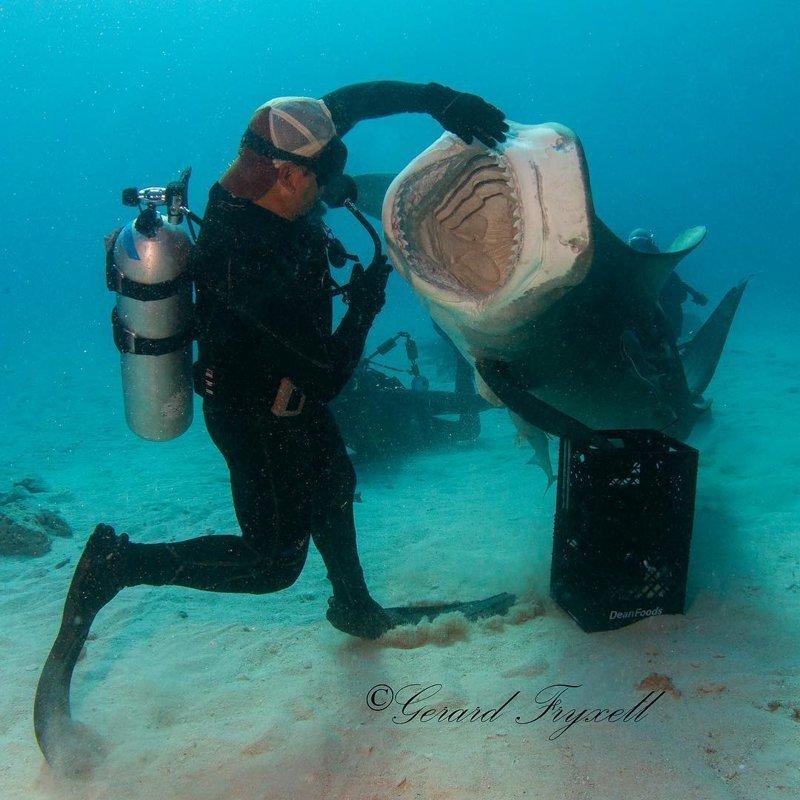 Дайвер «танцует» вместе со своей подругой — 300-килограммовой тигровой акулой акула, в мире, вода, дайвер, под водой, природа, танец