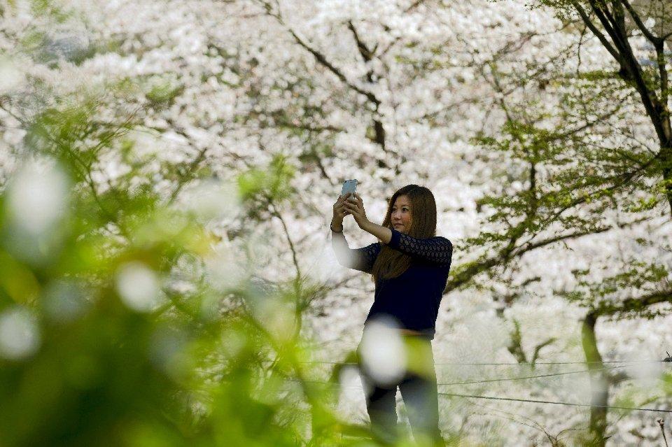 традиция любования цветущей сакурой-6