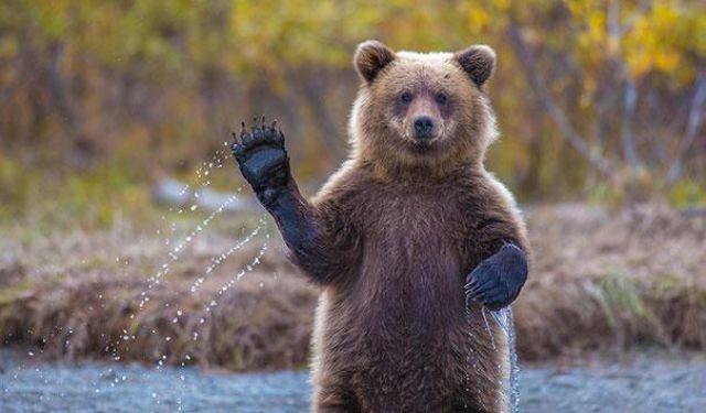 Смешные медведи, которые пох…