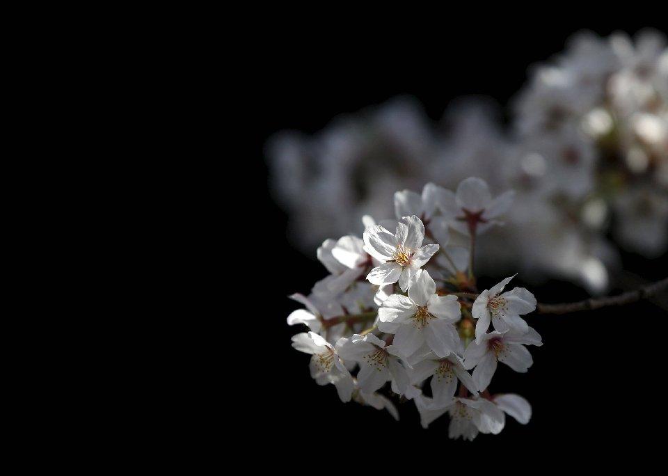 традиция любования цветущей сакурой-11