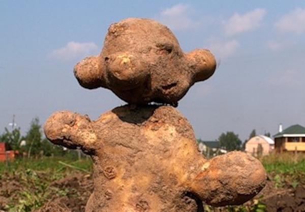 Почему картошка выросла уродиной