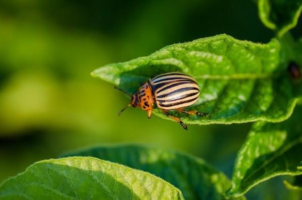 Западня для колорадского жука