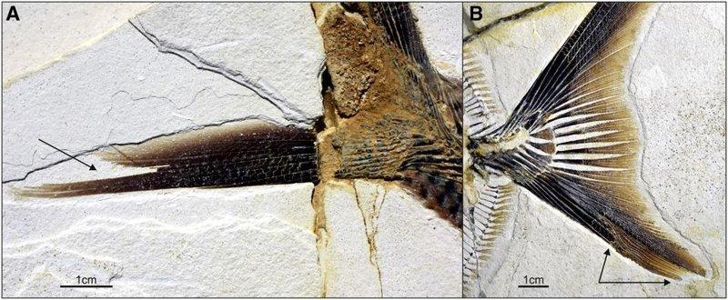 В Германии найдены останки пираньи, пожиравшей динозавров пиранья, рыбы, германия, наодки, раскопки