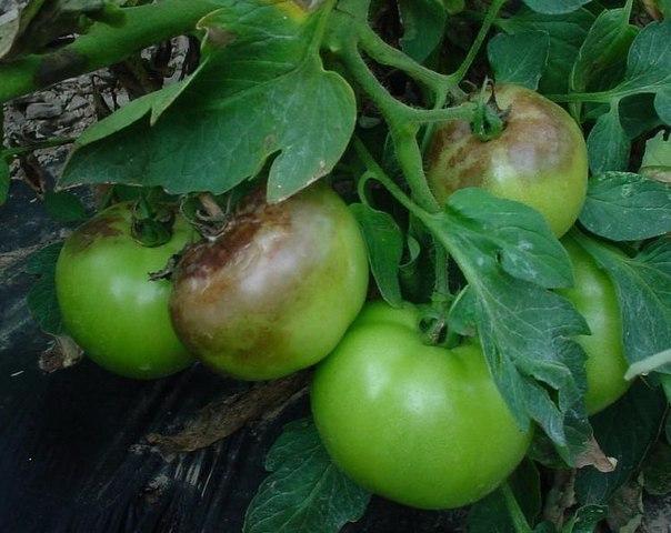 Способы борьбы с фитофторой томатов