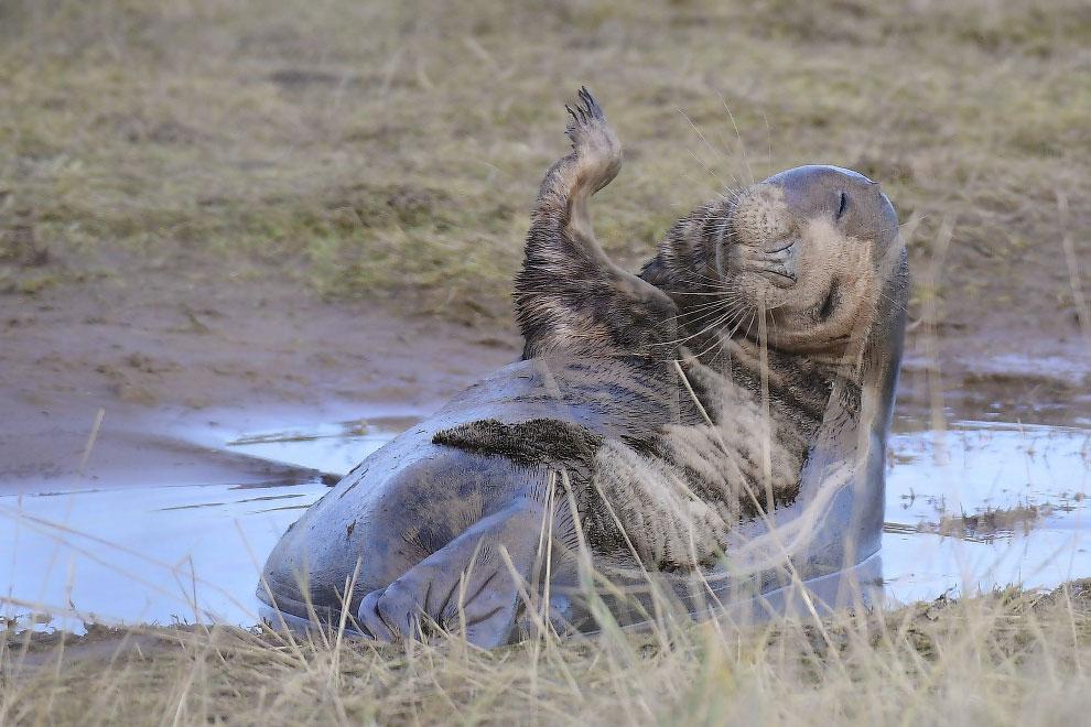 Победитель конкурса фотографий Mammal Photographer и веселый тюлень