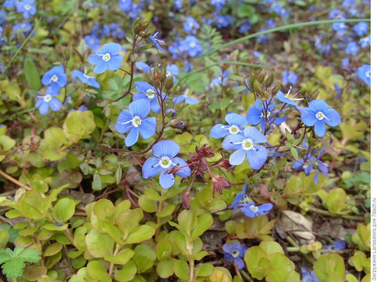 Лечебная цветотерапия на даче: пятый мазок – голубой