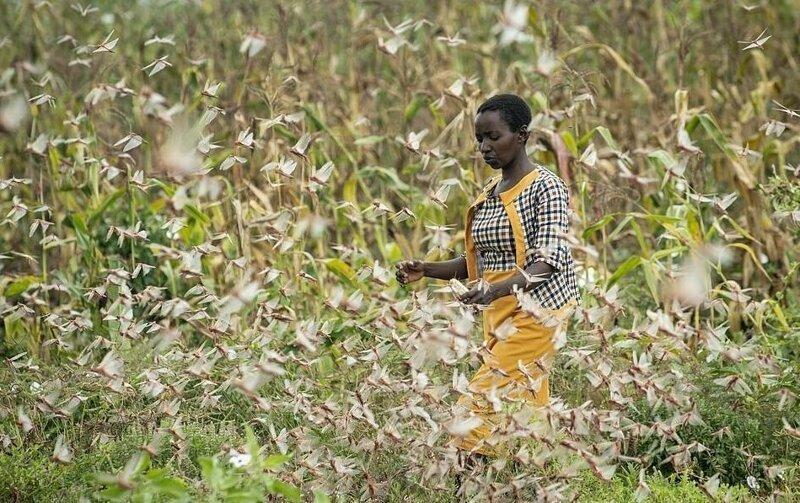 Саранча накрыла Кению кения,саранча,экология