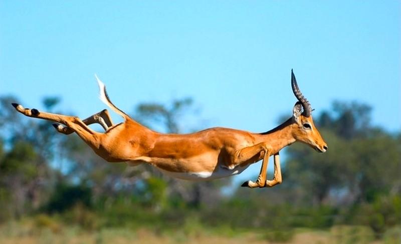 impala animal jumping - 736×448