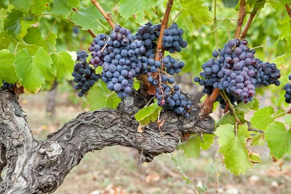 Я формирую свой виноградник под донскую чашу