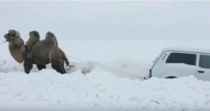 Верблюд вытащил застрявшую в снегу «Ниву»