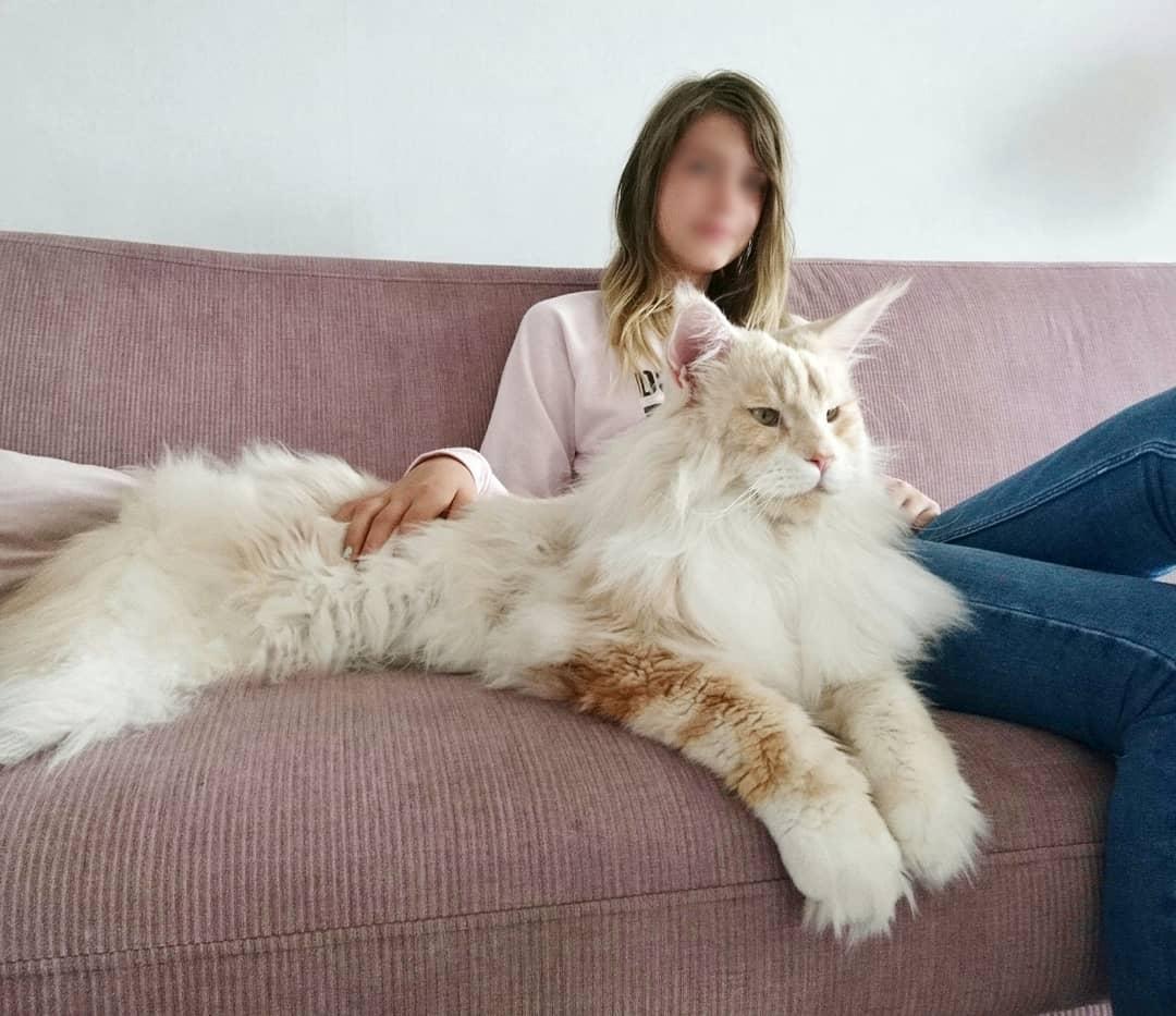 Знакомьтесь, мейн-кун Лотос и он самый шикарный кот Инстаграма