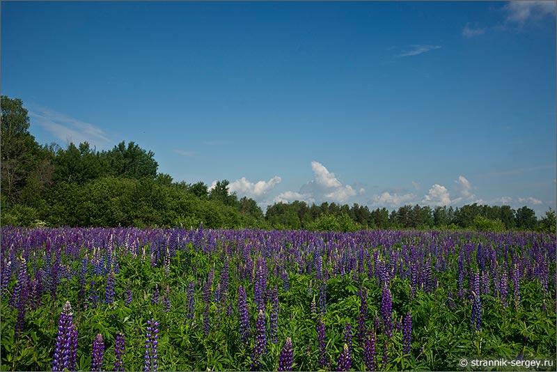 Лето — фото люпиновое поле