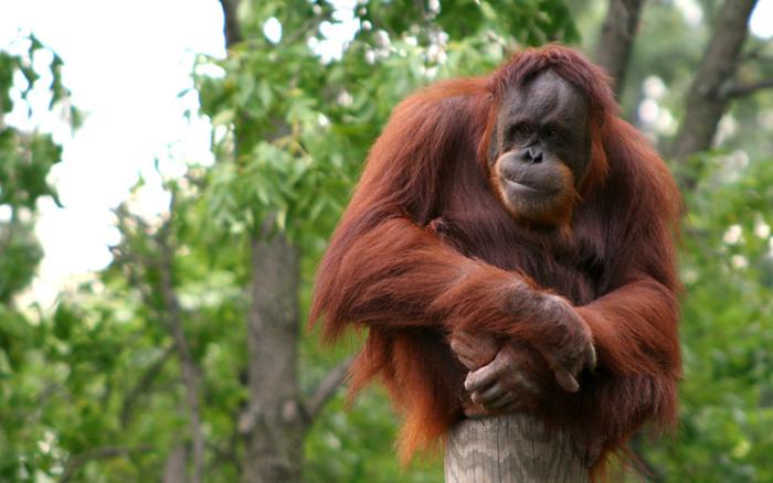 Иванов планировал скрестить орангутана и человека.