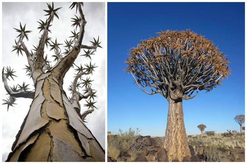 Quiver tree (aloe), Namíbia, incrível, natureza, incrível, flora