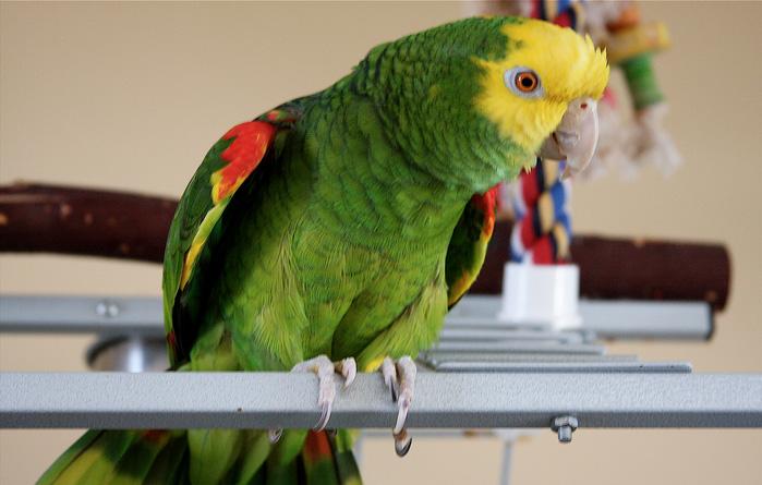 Объявление о продаже попугая, которое нужно прочитать каждому