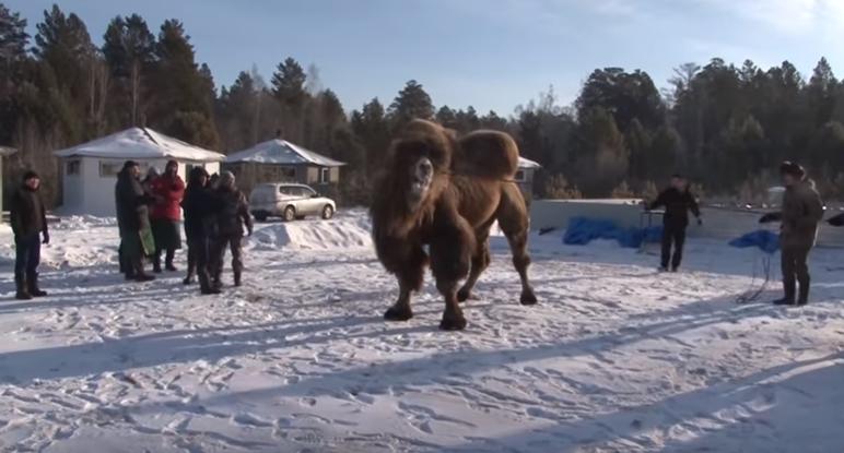 Шаманы сожгли пять верблюдов для укрепления России