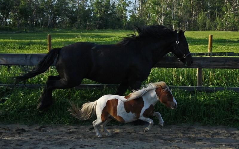 Миниатюрные лошадки породы фалабелла