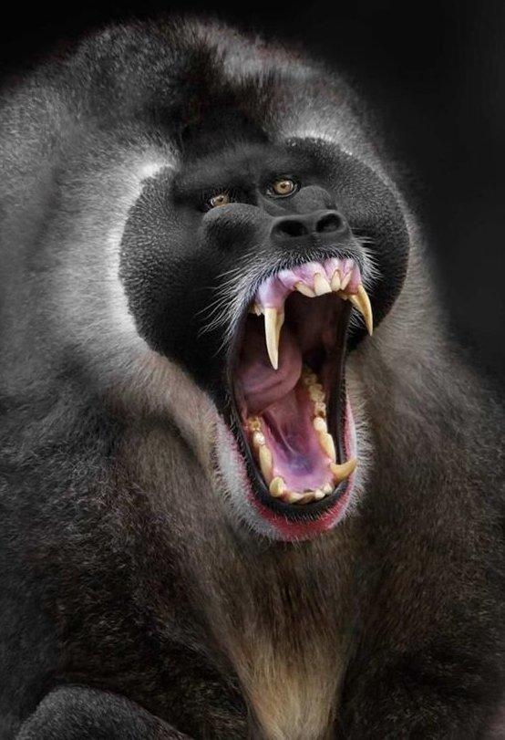 Поближе к нам, по теории Дарвина животные, звери, зубы, интересное, красота, оскал, природа