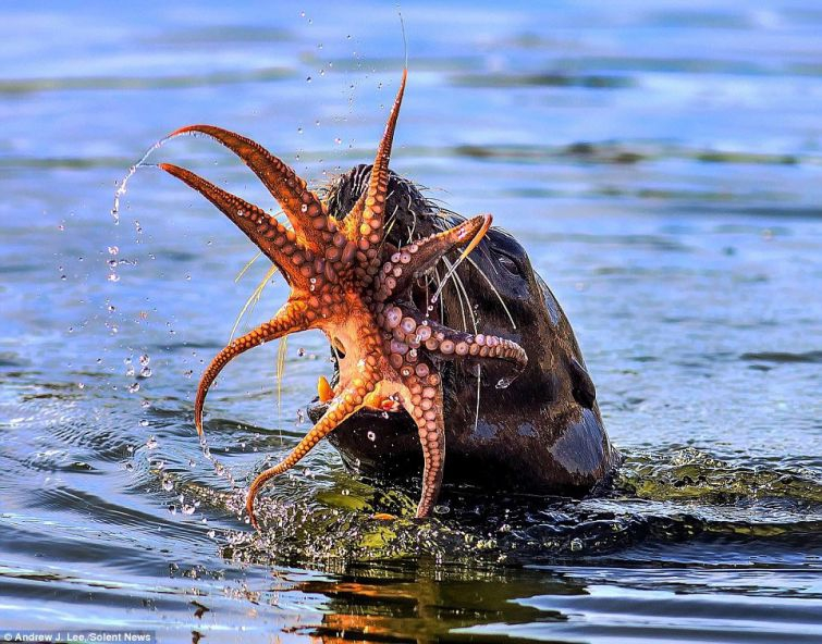 Тюлень против осьминога