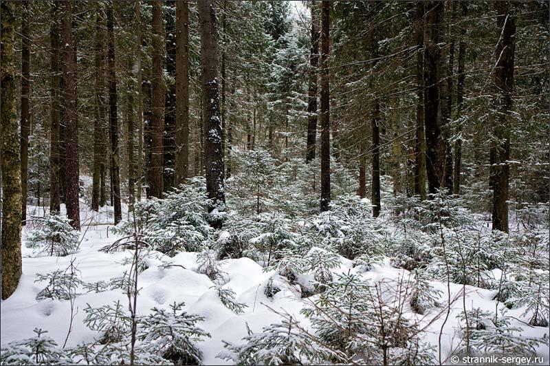 Вечнозелёный лес, покрытый снегом