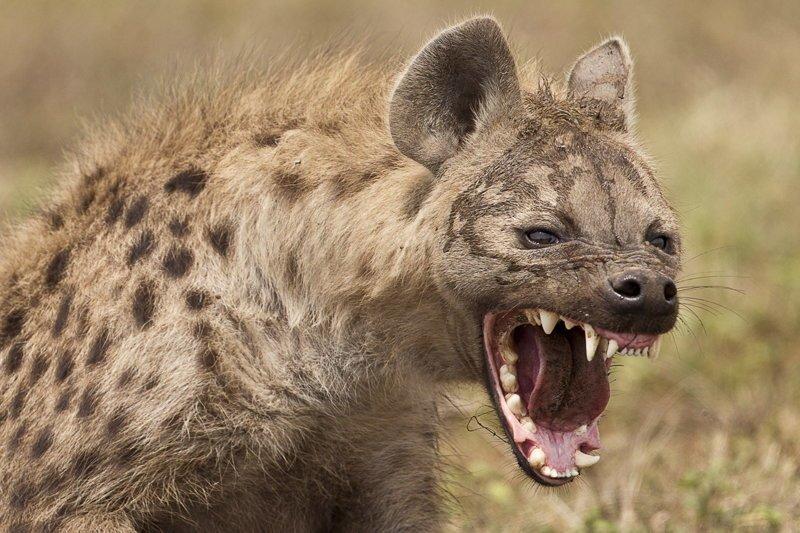 И гиены пусть повисят отдельно, очень уж страшные животные, звери, зубы, интересное, красота, оскал, природа