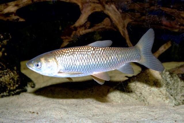 Разведение-рыбы.рф * Просмотр темы - Белый и Черный Амур