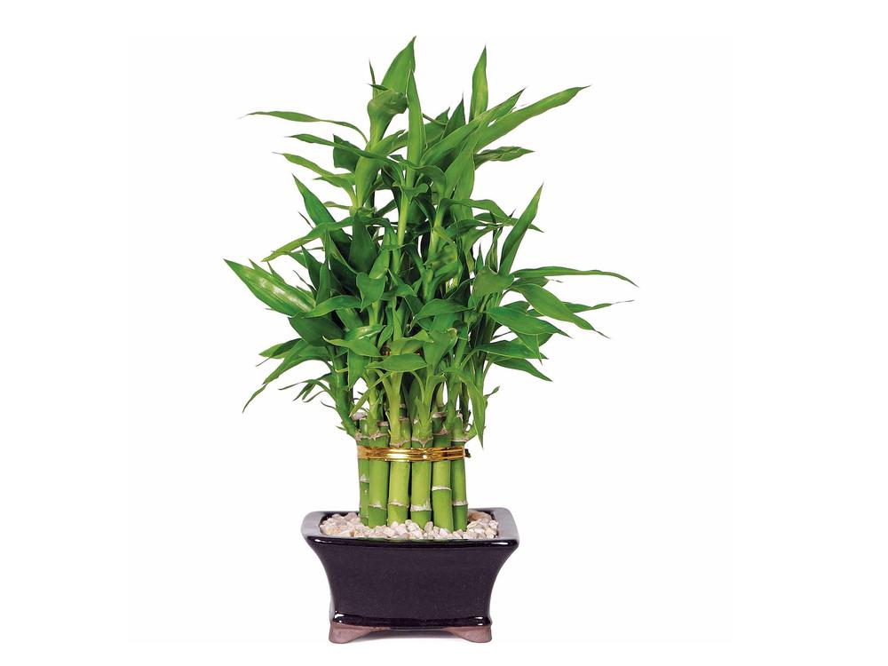 Бамбук в квартире