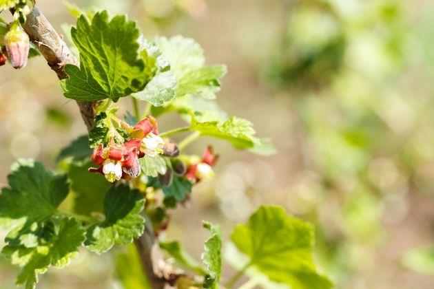 Весенний уход за черной смородиной: 5 важных дел