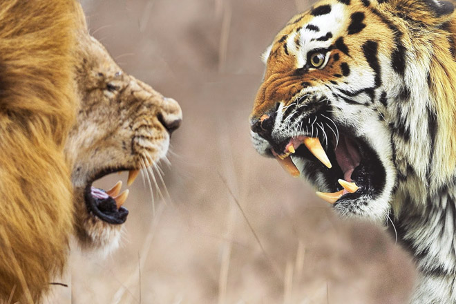 Лев против тигра: ищем настоящего царя зверей