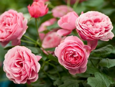 Ошибки при выращивании роз